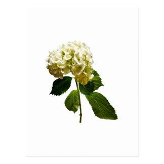Single White Hydrangea Postcard