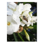Single White Oleander with Bee 1 Postcard