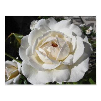 Single white rose flower in spring postcard