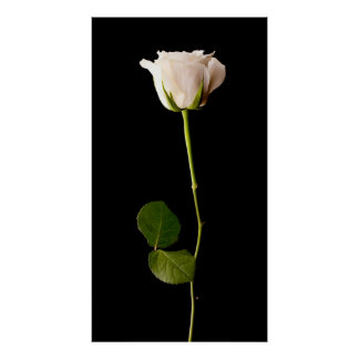 Single white rose on a black background poster