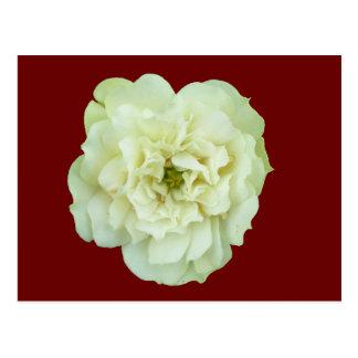 Single White Tea Rose Postcard