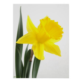 Single Yellow Narcissus Daffodil Poster