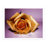 Single yellow rose contrasted against lilac back postcard