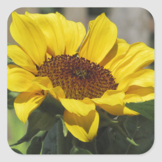 Single yellow sunflower with green leaves square sticker