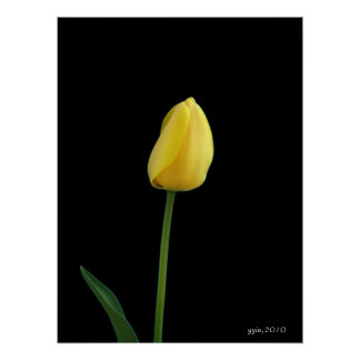 single yellow tulip flower poster
