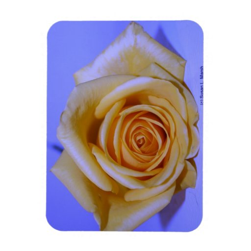 Single yellowish rose blue tinted magnets
