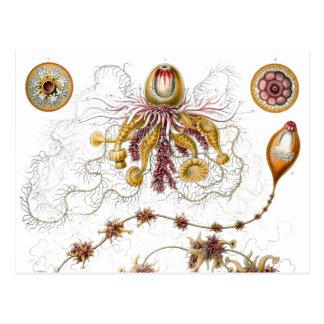 Siphonophorae animal fino del vintage de Ernst Ha Tarjeta Postal
