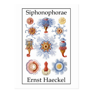 Siphonophorae by Ernst Haeckel Post Cards