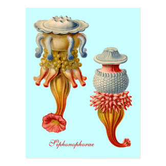 Siphonophorae  - Jellyfish postcard