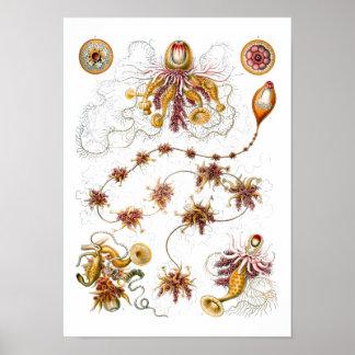 Siphonophorae multa del vintage de Ernst Haeckel Impresiones