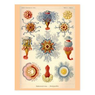 Siphonophorae Vintage Illustration Postcard