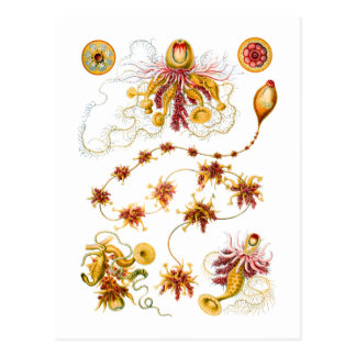 Siphonophores Postales