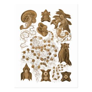 Siphonophores Tarjeta Postal