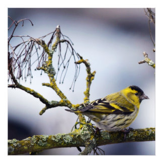 siskin eurasiático amarillo en una rama desnuda en fotografía