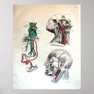 Sistema circulatorio craneal póster