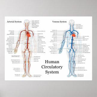 Sistema circulatorio humano de arterias y de venas póster
