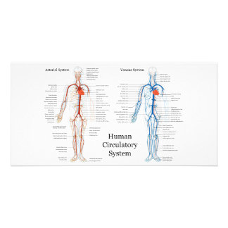 Sistema circulatorio humano de arterias y de venas tarjeta personal con foto