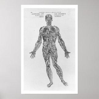 Sistema de las venas y de las arterias (impresión  póster