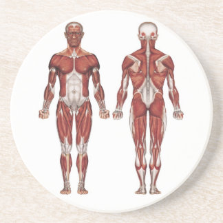 Sistema, frente y parte posterior musculares posavasos cerveza