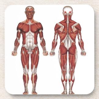 Sistema, frente y parte posterior musculares posavasos de bebida