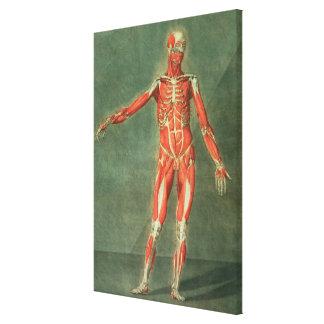 Sistema muscular superficial del frente de BO Impresión En Tela