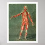 Sistema muscular superficial del frente de BO Poster