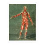 Sistema muscular superficial del frente de BO Tarjetas Postales