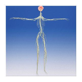 Sistema nervioso central con el cerebro humano impresiones en lona estiradas