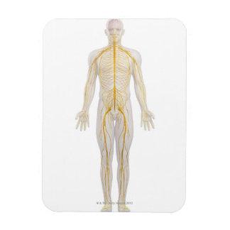 Sistema nervioso humano 2 imán rectangular