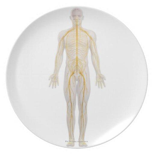 Sistema nervioso humano 2 platos de comidas