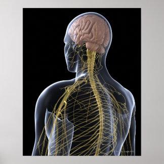 Sistema nervioso humano posters