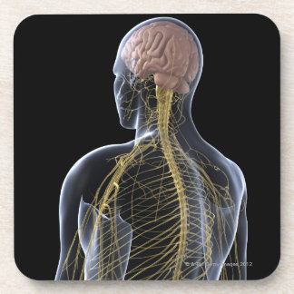 Sistema nervioso humano posavaso