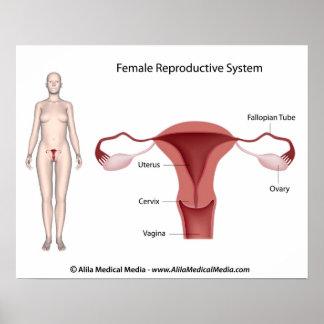 Sistema reproductivo femenino etiquetado poster