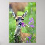 Sitka Black Tailed Deer Print