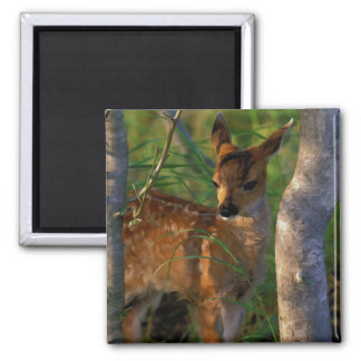 Sitka Blacktailed Fawn 2 Inch Square Magnet