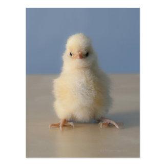 Sitting Baby Yellow Chicken, 3 days old Postcard