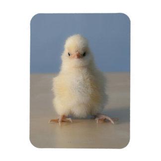 Sitting Baby Yellow Chicken, 3 days old Rectangular Photo Magnet