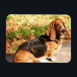 "Sitting Basset Hound  Flexible Magnet<br><div class=""desc"">Sweet basset hound sitting down.</div>"