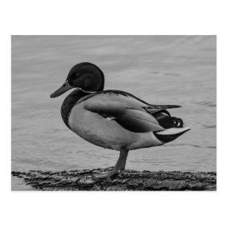 Sitting duck postcard