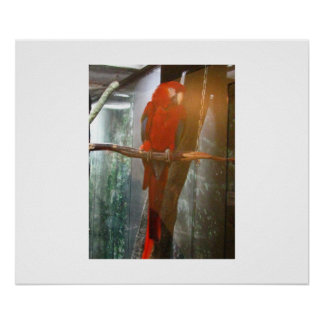 Sitting Parrot Poster