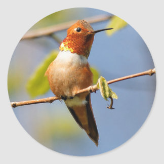 Sitting Pretty: Male Rufous Hummingbird Classic Round Sticker