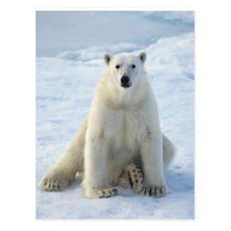 Sitting Pretty Polar Bear Postcard
