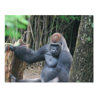 Sitting Silverback Gorilla  Postcard