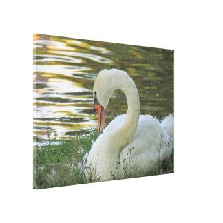Sitting Swan Canvas Print