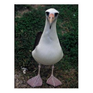 Situación del albatros de Laysan Postales