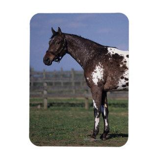 Situación del caballo del Appaloosa Imán