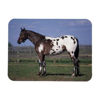 Situación del caballo del Appaloosa Imán Rectangular
