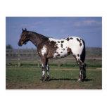 Situación del caballo del Appaloosa Postales