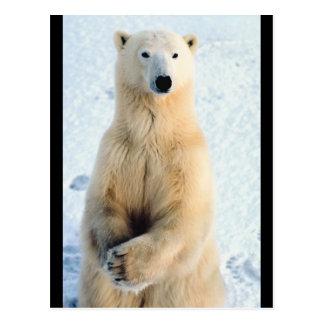 Situación del oso polar postal