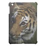 Situación del tigre (Panthera el Tigris), primer